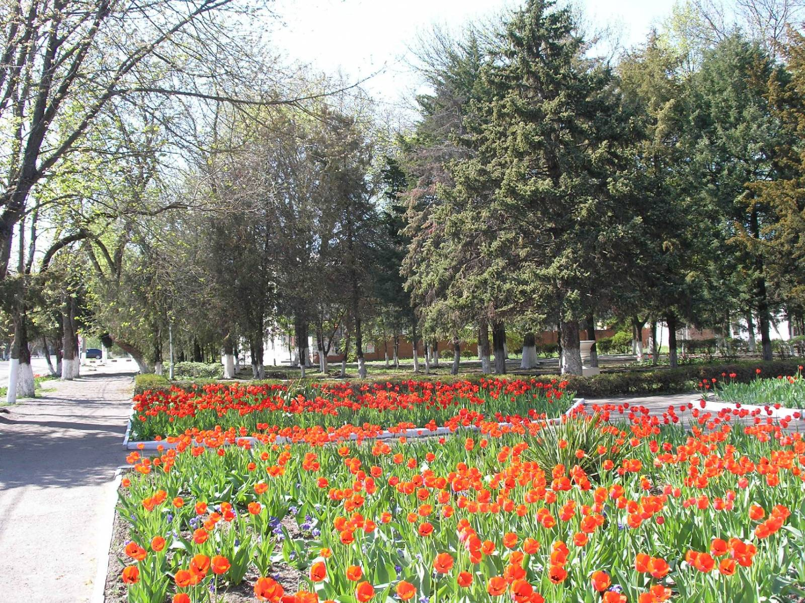 Тюльпаны в центральном парке